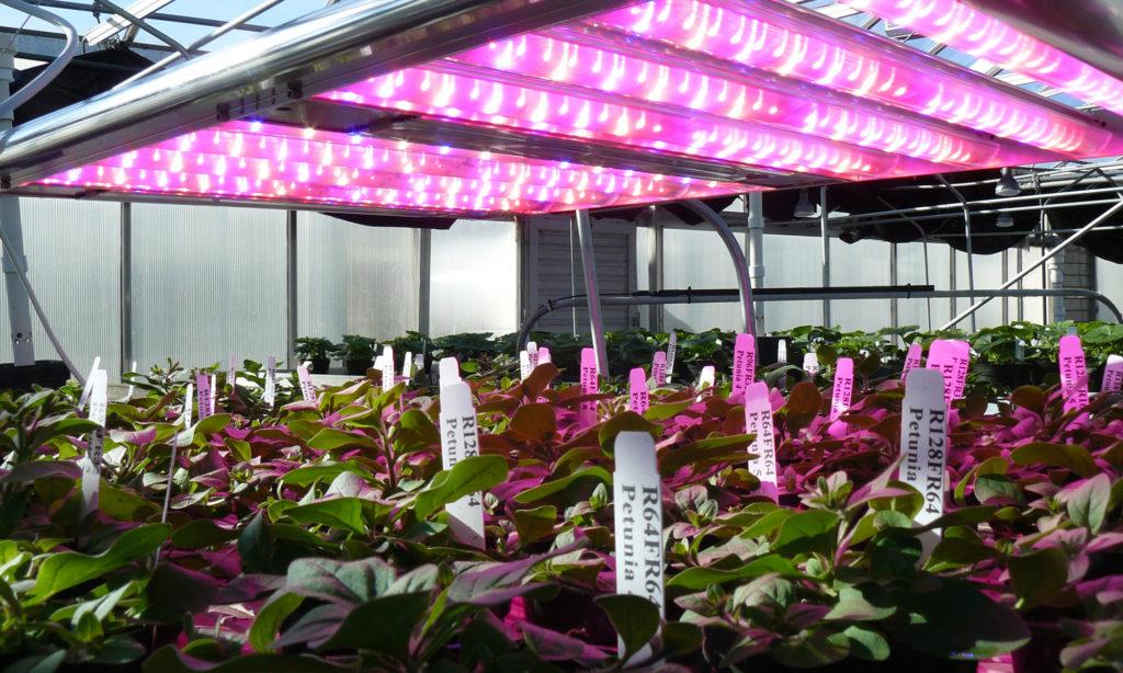 Ekspansja LED w sektorze ogrodnictwa szklarniowego